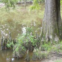 Cypress Tree, Ковингтон