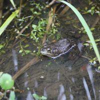 Bullfrog in Cypress Lake, Лафайетт