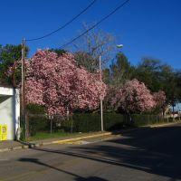 Tulip trees on Garfield St., Лафайетт