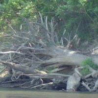 Fell tree on Sabine River, Мерривилл