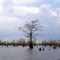 Swamp trees, Чёрч-Пойнт
