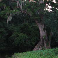 Cat Island Cypress, Чёрч-Пойнт
