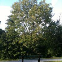 Ash - Native Tree, Арлингтон