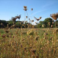 Queen Annes Lace, Rock Meadow, Белмонт