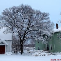 Snow Tree, Белмонт