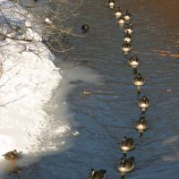Goose chain in Muddy river., Бруклин