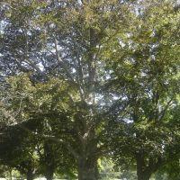 Huge Tree, Ист-Бриджуотер