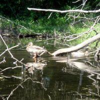 Ducks, Ист-Лонгмидоу