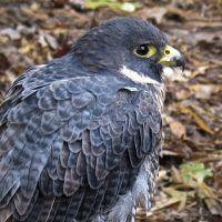 Peregrine Falcon, Карвер