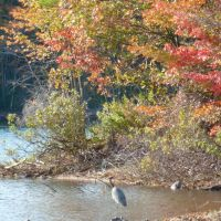 Great Blue Heron in The Fells, Линнфилд