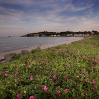 Wild roses at Nahant beach, Нахант