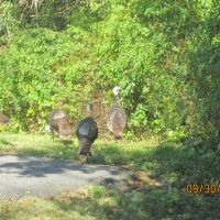 Turkeys in the suburb., Нидхам