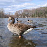Geese in Shrewsbury Dean Park, Нортборо