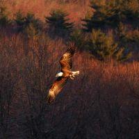 Eagle in Flight, Сандвич