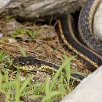 Garter Snake, Стерлинг