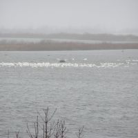 fresch water pelicans in back waters of the Mississippy river at Stoddard WI., Браунсвилл