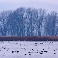 Tundra Swan Migration, Браунсвилл