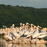 Pelicans on the Mississippi River, Браунсвилл