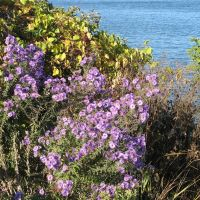 Oct 2010 - Plymouth, Minnesota. Flowers on the western shore of Medicine Lake., Медисин-Лейк