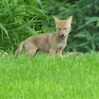 Coyote Pups in Town, Мендота-Хейгтс