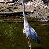 Blue Heron, Миннеаполис