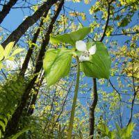 Wild Flower, Сканлон