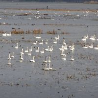 Swans resting in Wisconsin Island area national wildlife refuge 2 miles south of Brownsville MN, Хока