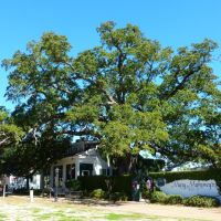 Old French house established 1737 and its centuries-old live oak, Билокси