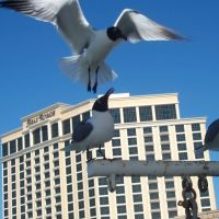 Seagulls by Beau Rivage, Билокси