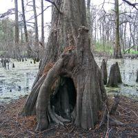 Cypress Tree, Гринвилл