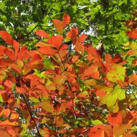 Sourwood leaves, Клевеланд