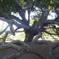Amazing Live Oak!, Лонг Бич