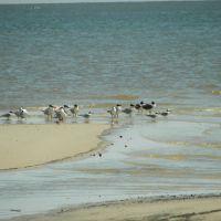 various Birds, Gulls,  Gulf of Mexico, Long Beach, MS, Лонг Бич