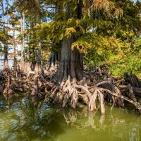 Cypress Trees, Лула