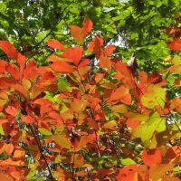 Sourwood leaves, Мериголд