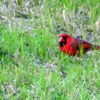 i think mockingbird and cardinal standoff, Олив Бранч