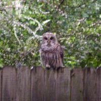 owl, Силвер-Крик
