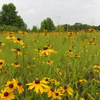 Black-eyed Susans, Флоренк