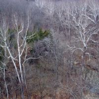 White Trees before the snow, Rock Bridge Mem. State Park, Missouri, Пилот Кноб