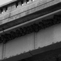 Cliff Swallow nests under a bridge, Шревсбури