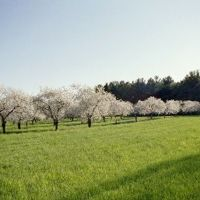 Cherry Orchard in bloom, Бойн-Фоллс