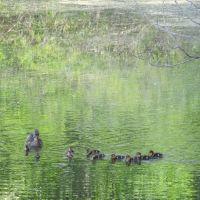 Duckling row on Ford Lake, Ипсиланти