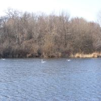 Swans at Spring Valley Park, Kalamazoo, MI, Иствуд