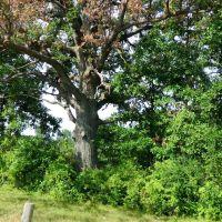 Old Tree, Клинтон