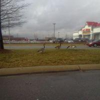 Canadian Geese dont need passports., Мадисон-Хейтс