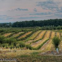 Dawn: Trees Line the Landscape, Роял-Оак
