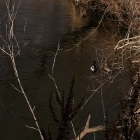 Ducks in the Clinton River - Jan 12, 2013, Стерлинг-Хейтс