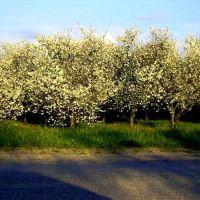 cherry trees, Траубридж Парк