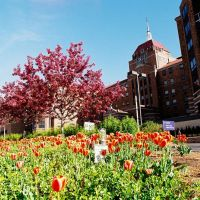 Tulips abloom in May in front of Saint John Hospital Detroit Michigan USA, Харпер-Вудс