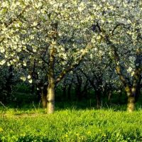 cherry blossoms, Хигланд-Парк